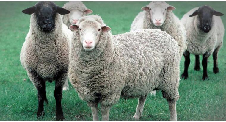 فروش و ذبح گوسفند زنده