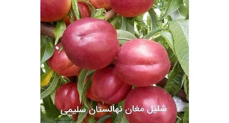 نهالستان سبز سلیمی