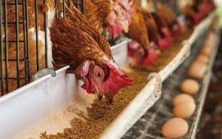 فروش مرغ محلی تخم گذار