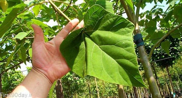 فروش نهال درخت پالونیا