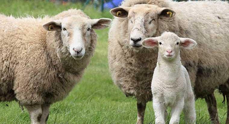 گوسفند زنده سراسر تهران