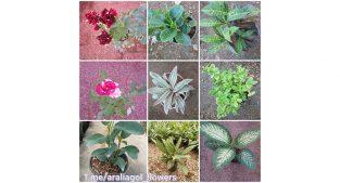 فروش گلهای آپارتمانی و باغچه ای