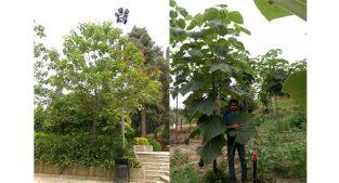 فروش درخت پالونیا تهران و کرج